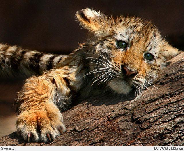 Bebe tigre - Bebe tigre mignon ...