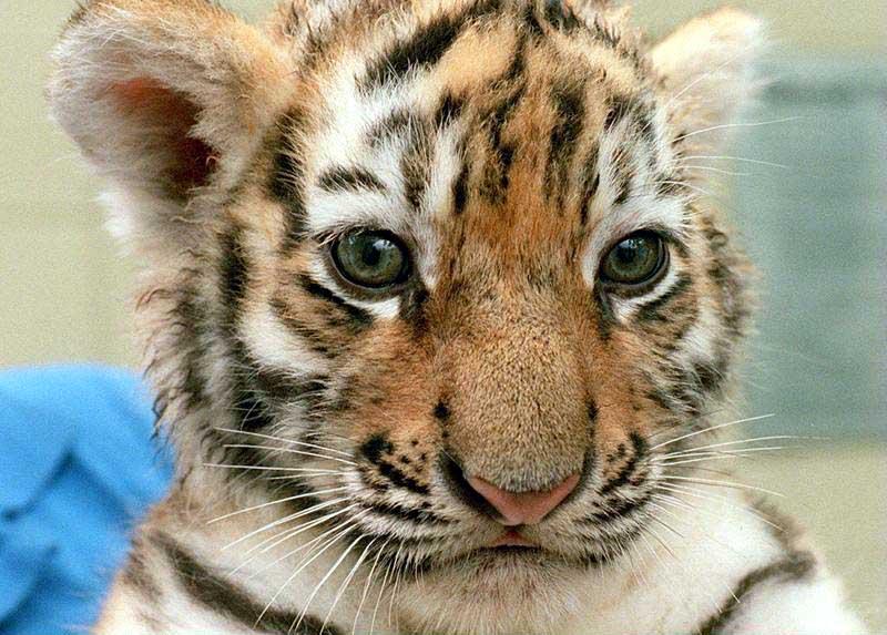 Felin page 11 - Bebe tigre mignon ...
